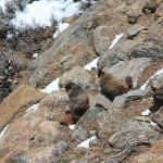 214rmnpmarmot2May11
